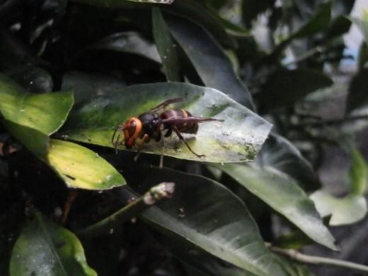 蜂に刺されたら スズメバチ