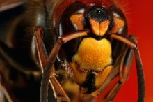 蜂に刺されたら